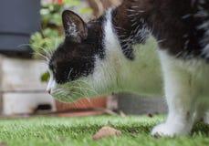 En vit och svart katt i en trädgård, London; fluffigt hångla och tafsar arkivbilder