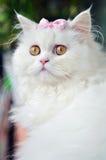 En vit persisk katt med en rosa pilbåge Arkivbild