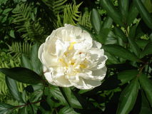 En vit pionblomma 'A E Kunderd Royaltyfria Bilder