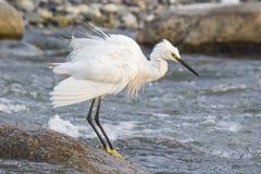 En vit seagul som tar badet i floden Arkivfoton