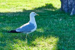 En vit seagull som går i, parkerar royaltyfri fotografi