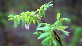 En vit skogmal med rosa och orange fl?ckar p? dess vingar sitter p? en filial med gr?na sidor stock video