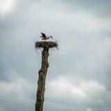 En vit stork i redet Arkivfoton