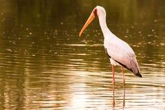 En vit stork på solnedgångvadandet till och med guld- vatten i sökande av mat royaltyfri foto