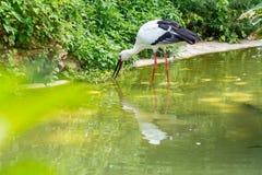 En vit stork som äter en fisk på dess mun i en sjö Royaltyfria Bilder