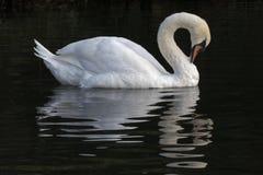En vit svan Arkivfoton