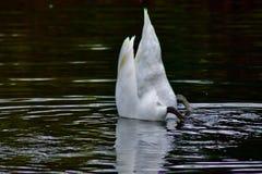 En vit svan i en dyk fotografering för bildbyråer