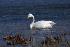 En vit svan i wate Fotografering för Bildbyråer