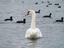 En vit svan och de svarta änderna Arkivbilder