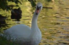 En vit svan ser in i kameran på kusten av en sjö i Europa, lös fågel i naturen fotografering för bildbyråer
