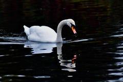 En vit svan simmar fotografering för bildbyråer
