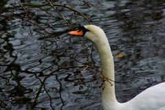 En vit svan simmar arkivfoto