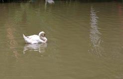En vit svan simmar på sjön Arkivbild