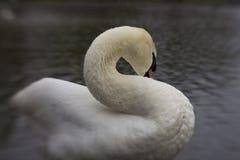 En vit svan som putsar på kanten av ett damm arkivbild