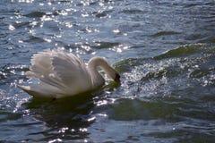 En vit svan som svävar på det blåa vattnet som reflekterar solljusilskna blicken arkivbild