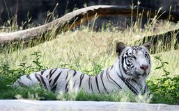 En vit tiger i zoo Royaltyfri Fotografi