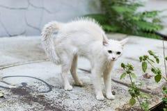 En vit tillfällig katt känner sig hotad och gör en puckelrygg Katt rundat försvar arkivfoton