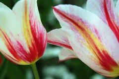 En vit tulpan i trädgården med röda band Royaltyfri Bild