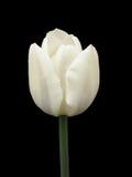 En vit tulpan på en svart bakgrund Royaltyfri Fotografi