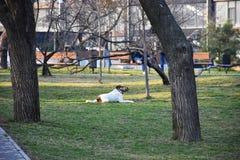 En vit tystad ned hund går och spelar i parkerar arkivfoton