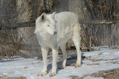 En vita Wolf Cameo Royaltyfri Foto
