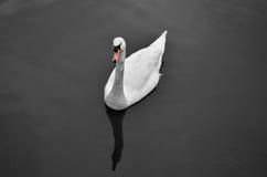 En vitSwan i ett damm Arkivbilder