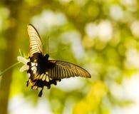 En vlinder die van Swallowtail vliegt de danst Stock Foto's