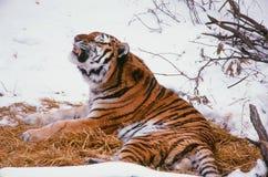 En Vocalizing Siberian tiger Arkivfoto