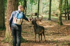 En volontär matar en lös hjort i skogen som att bry sig för djur Royaltyfria Foton