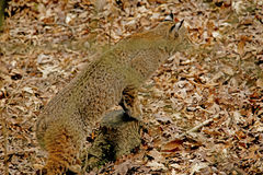 En vuxen Bobcat förföljer hans rov. Royaltyfri Bild