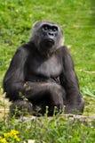 En vuxen gorilla för västra lågland som matar på Bristol Zoo, UK royaltyfri foto