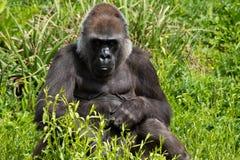 En vuxen gorilla för västra lågland som matar på Bristol Zoo, UK royaltyfri fotografi