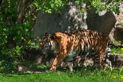En vuxen härlig tiger royaltyfria foton