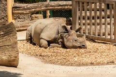 En vuxen indisk noshörning som vilar i solen arkivbilder