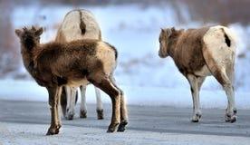 En vuxen människa och två bighornsättlingar Vinter i steniga berg Royaltyfria Foton