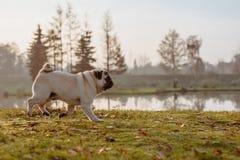 En vuxen manlig mops, hund kör i parkerar på en höst, solig dag under guld- timme, med en sjö i bakgrunden royaltyfri bild