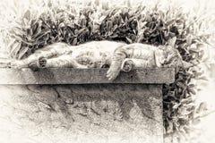 En vuxen strimmig kattkatt som sover med att solbada på en låg vägg Royaltyfri Bild
