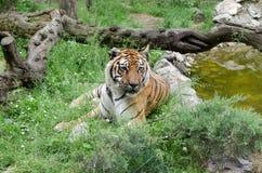 En vuxen tiger ligger och vilar i gräset Royaltyfri Bild