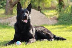 En vuxen ung stor tysk herde för svart hund ligger på grönt gräs i trädgården eller att parkera på den soliga dagen i Tjeckien oc fotografering för bildbyråer