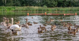 En vuxen vit svan och fyra unga gråa svanar simmar på sjön med änder royaltyfri foto