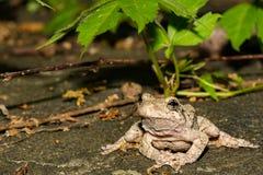 En vuxna nordliga Gray Tree Frog Arkivfoton