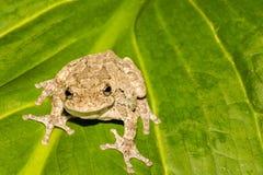 En vuxna nordliga Gray Tree Frog Royaltyfri Fotografi