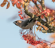 En waxwing satt i rönnbusken som äter ett bär Royaltyfria Foton