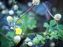 En wayside blommar 02 Arkivbild