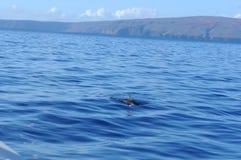 Wild delfin Arkivbilder