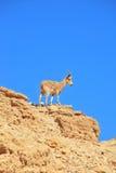 En wild get förbereder sig att hoppa Fotografering för Bildbyråer