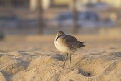 En Willet på stranden arkivfoto