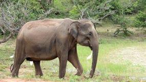 En Wlid elefant i nationalpark arkivfoto