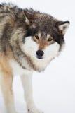 En Wolf Alone i snön Arkivfoto