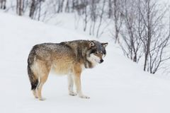 En Wolf Alone i snön Royaltyfri Foto